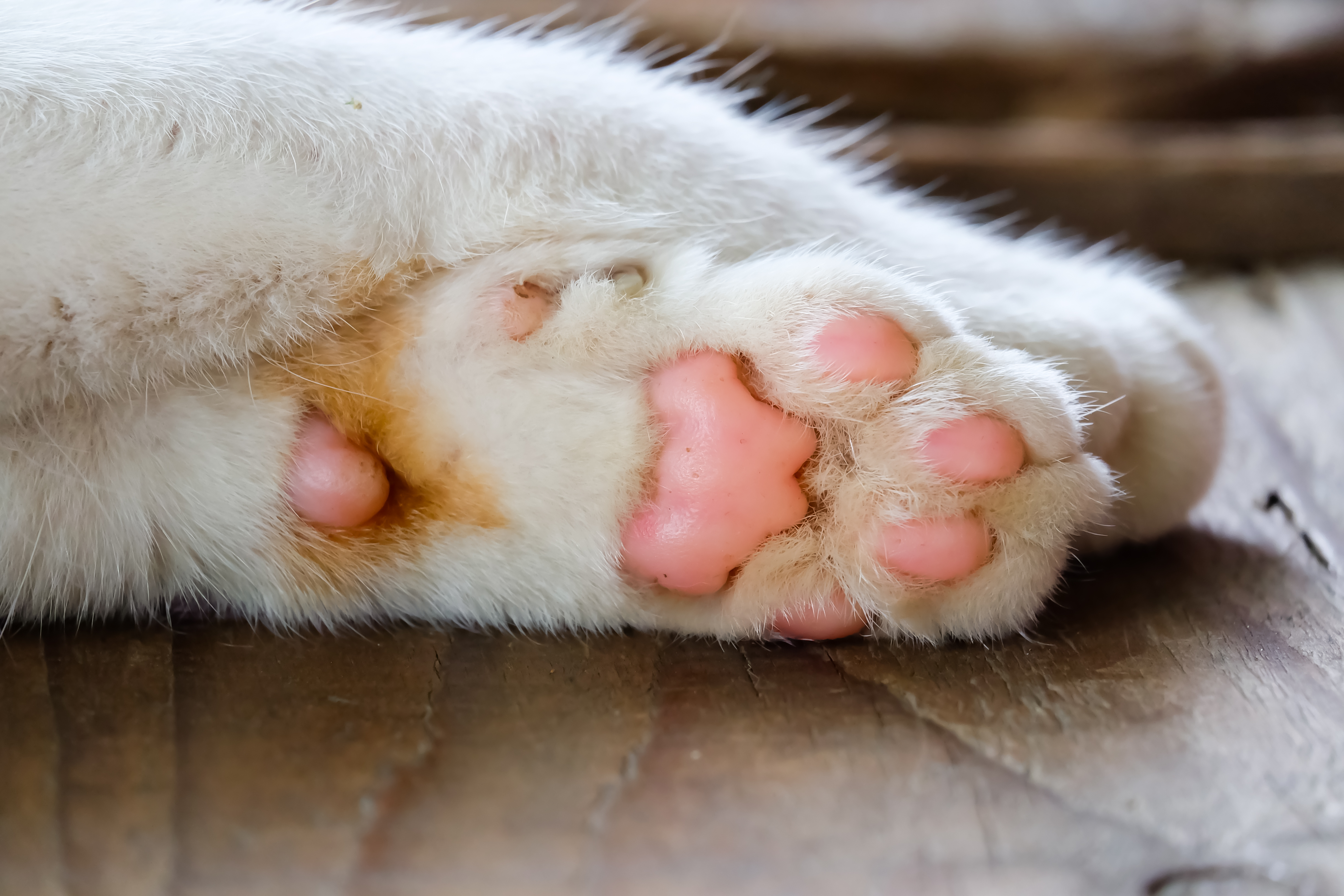 White Callus On Cats Paw