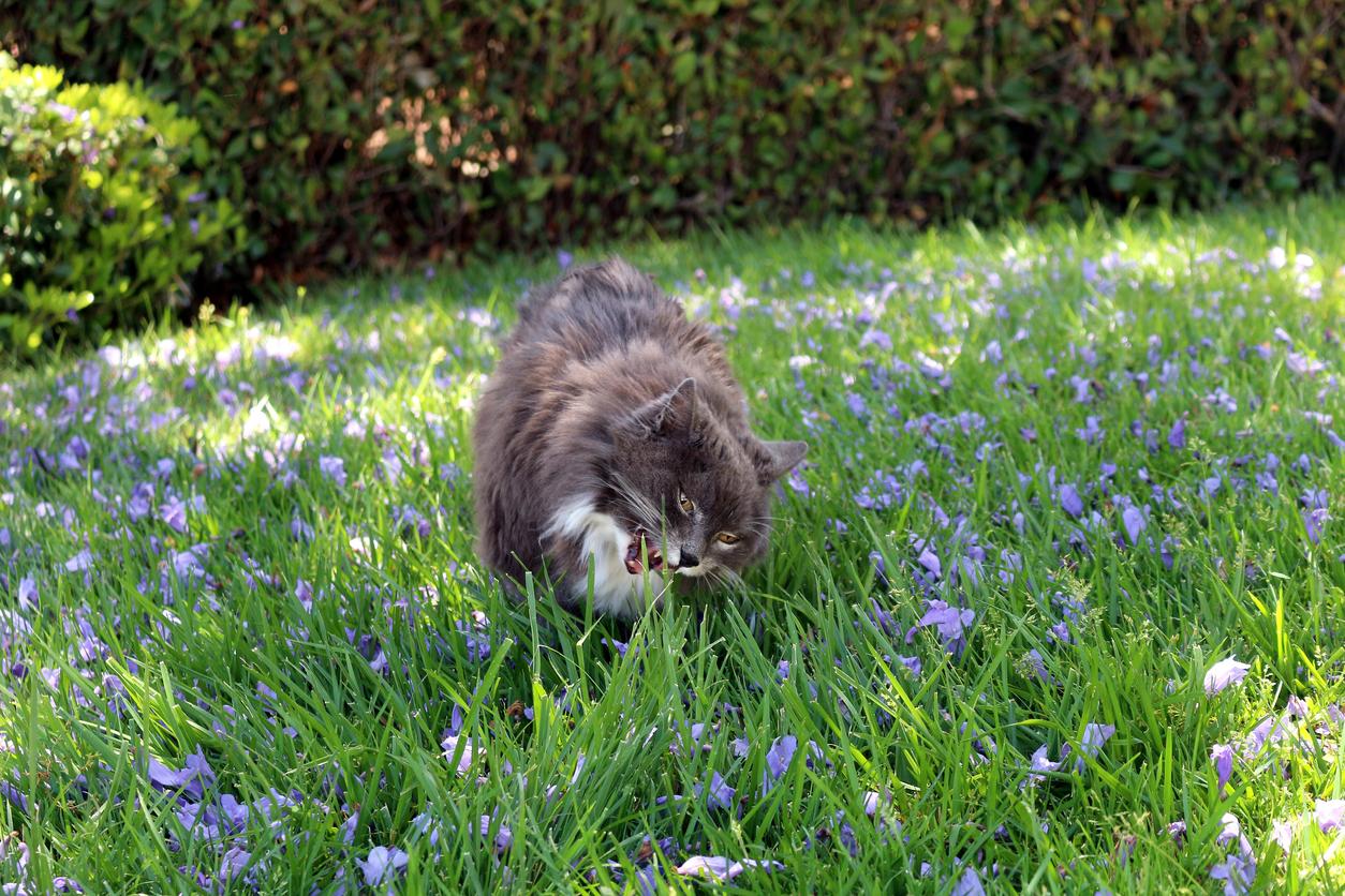 Quels sont les plantes toxiques pour le chat bulle bleue - Plantes non toxiques pour les chats ...