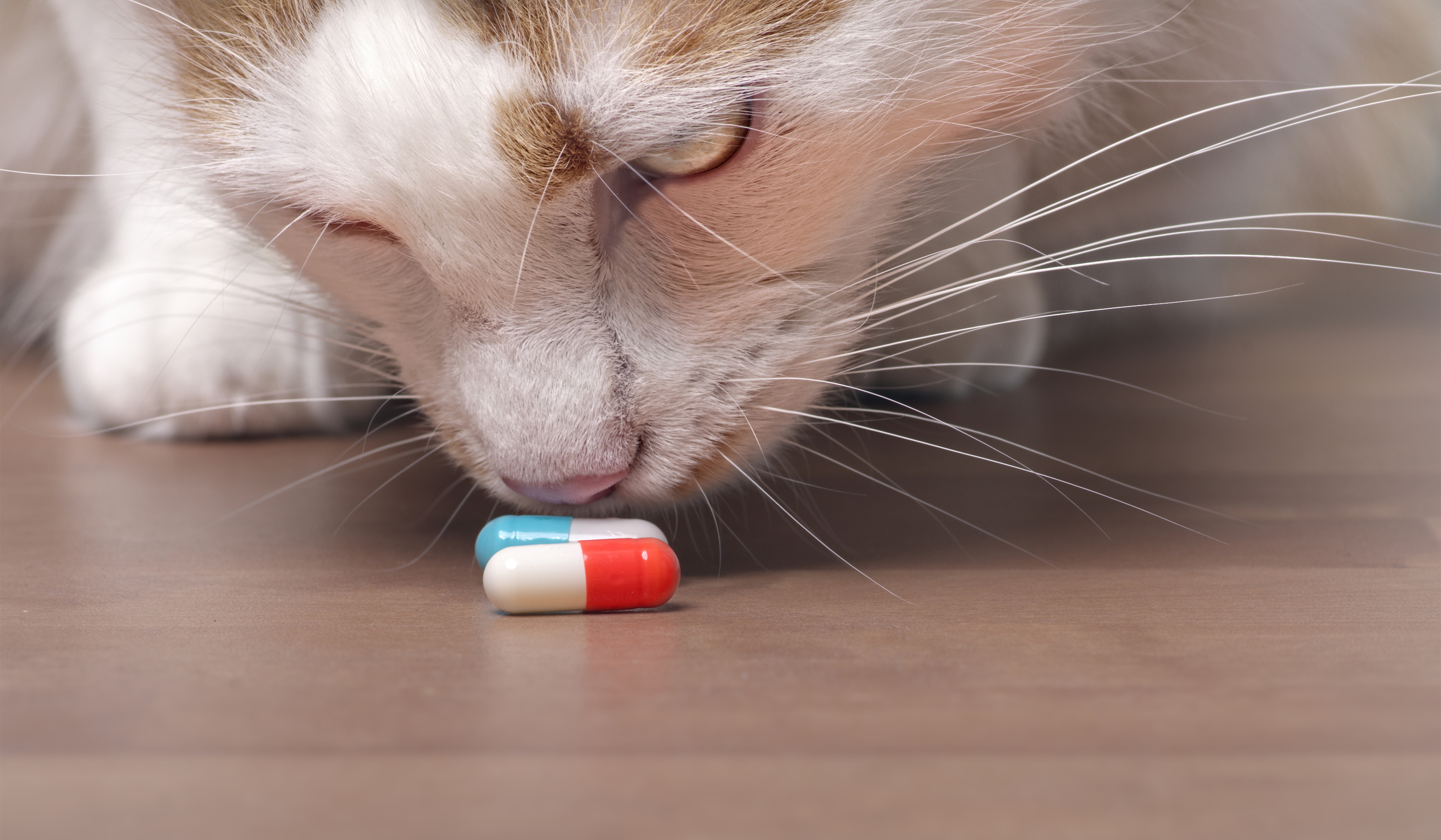 chat anti inflammatoire