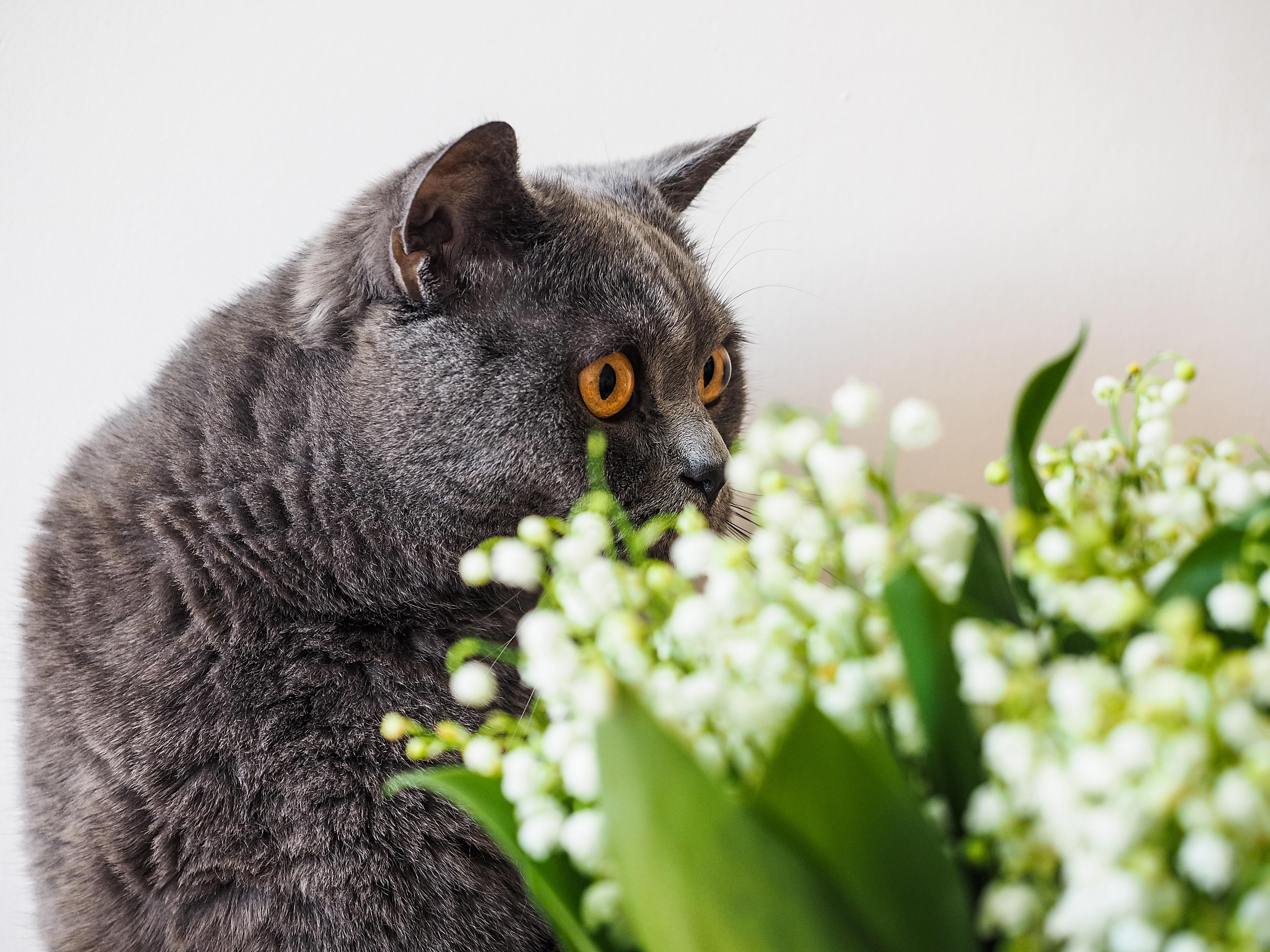 Le muguet une plante toxique pour les chats et les chiens - Plantes toxiques non toxiques chien chat ...