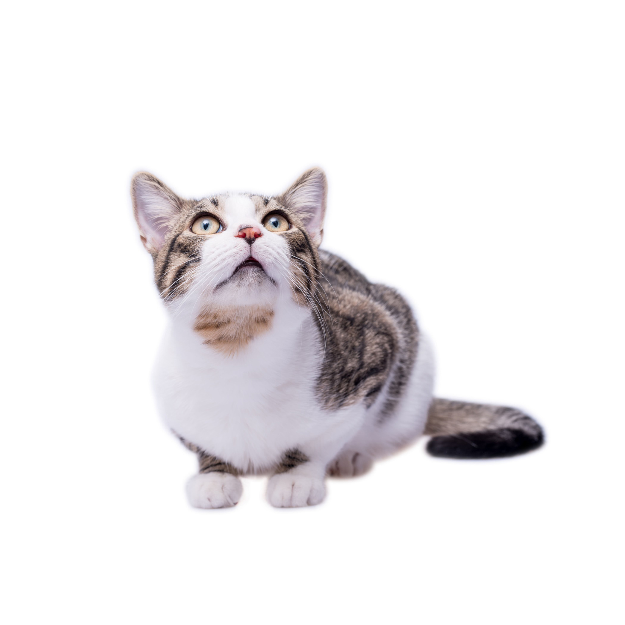 Chat Européen (ou European Shorthair)