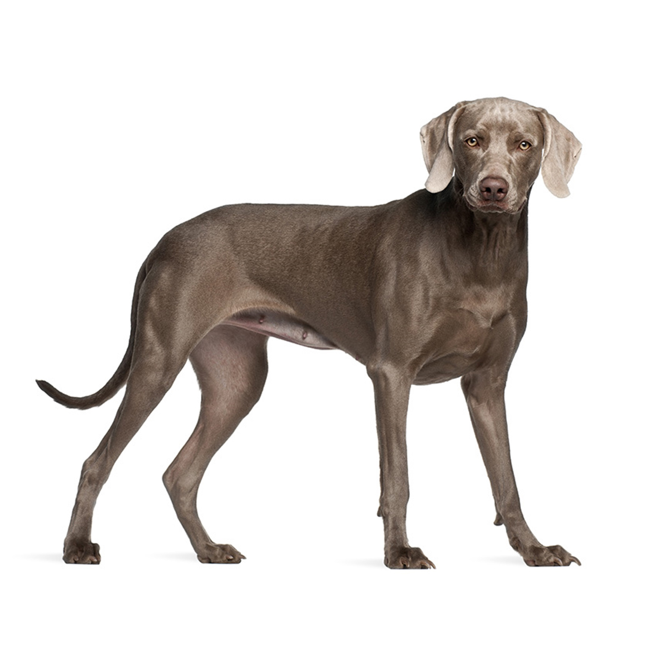 weimar chat Weimaraner characteristics the weimaraner is a powerful and strong-willed dog he requires an owner who can take charge and be a good leader.