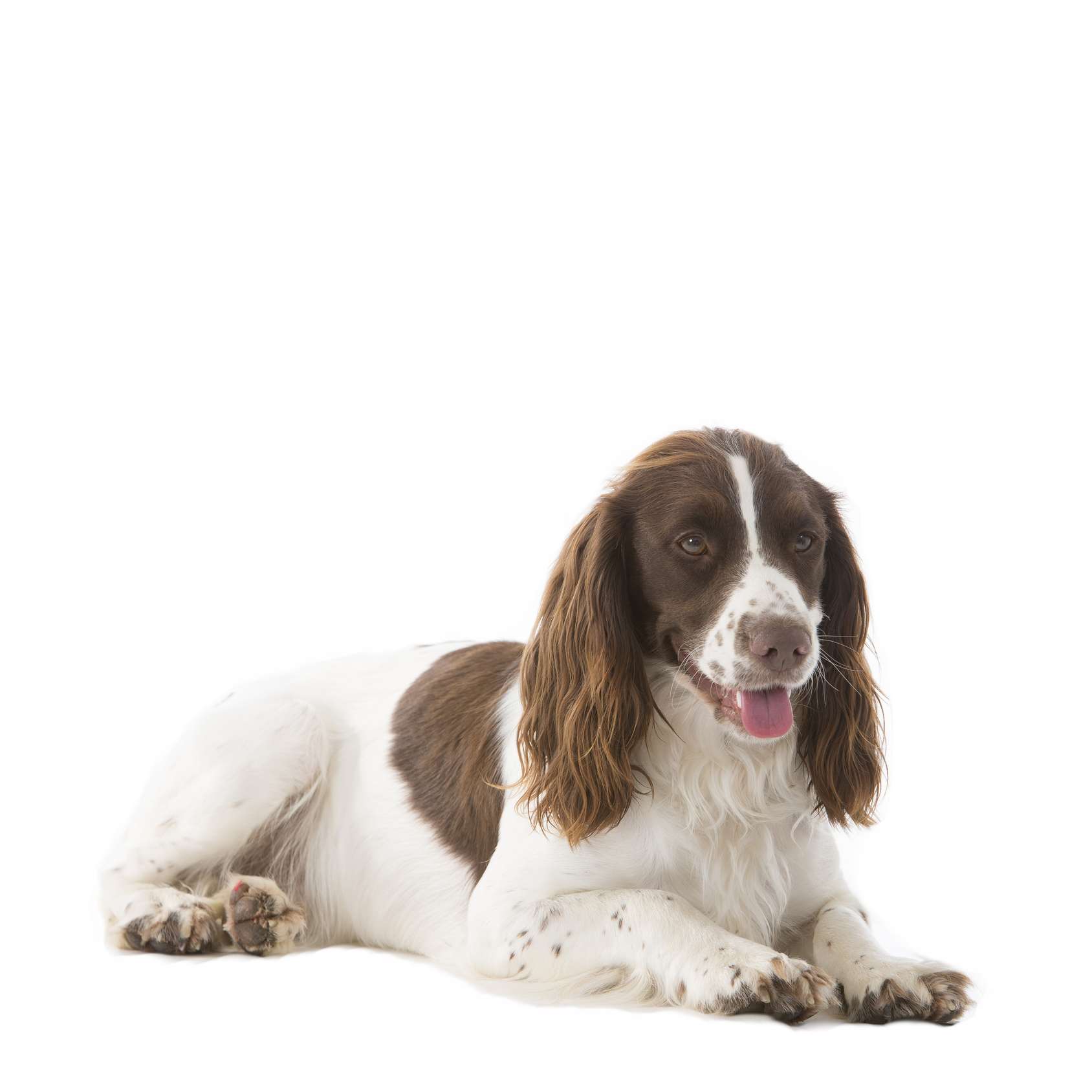 Springer Anglais (ou English Springer Spaniel)