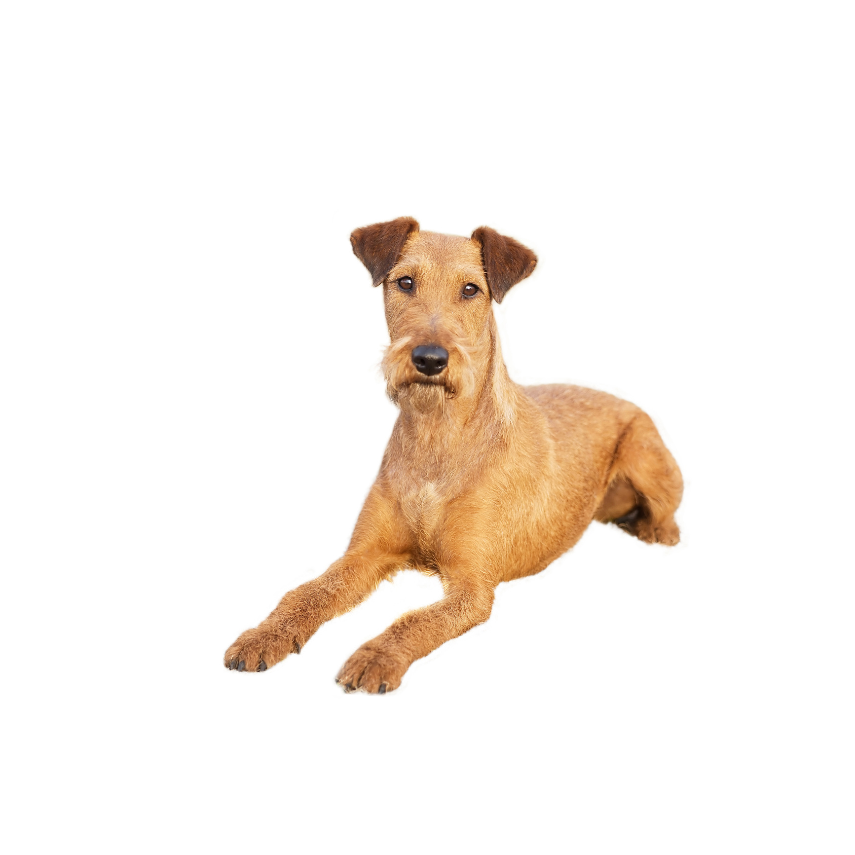 Terrier Irlandais (ou Irish Terrier)